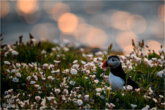 Puffin In Sunset Light (Mike Woolley) Tags: bird nikon puffin sea skomer spring sunset wales wildlife