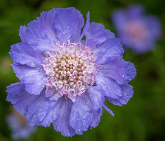 Abbeywood Estate: Scabious (Jon Fitton) Tags: colour uk delamere abbeywood england unitedkingdom cheshire adobe blue scabious lightroom wedding abbeywoodestate northwich