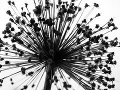 bÄng (m_laRs_k) Tags: flora fireworks hct blackandwhite crazytuesday luisenpark bw noire germany flower star mlarsk