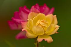 Roses (pstenzel71) Tags: blumen natur pflanzen rosa rose darktable flower bokeh