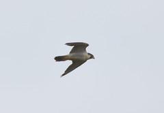 Peregrine Falcon (Cant Beat The Drumm) Tags: peregrine falcon flight scotland birding bird kinrosshire moss