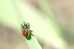 Alpiniste en herbe (Marc ALMECIJA) Tags: macro proxi camargue outdoor outside nature natur insecte insect panasonic g9 100400 haneton coléoptère wildlife