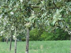 IMG_7848 (germancute) Tags: nature green petal baum tree