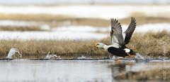 King Eider (karenmelody) Tags: animal animals alaska anatidae anseriformes usa bird birds duck unitedstatesofamerica ducks kingeider vertebrate vertebrates salcha somateriaspectabilis nearbarrow