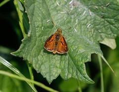 Skipper's (ray 96 blade) Tags: butterflies skippers springwatch wildlife groveferry nnr kent bestviewedlarge