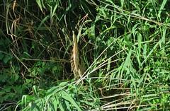 My first bittern ever! (Elisa1880) Tags: botaurus stellaris eurasian bittern great roerdomp vogel bird the hague den haag solleveld nederland netherlands watervogel