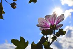 The Power and the Pure (Robin Shepperson) Tags: pink sky sun sunlight summer nature upward up open white green blue petal petals clouds bokeh berlin germany d3400 nikon 1855mm daylight