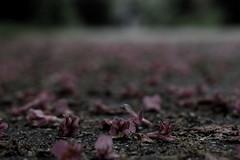 Dead flowers (francois.lefevre) Tags: flower rose ground
