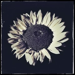 Sunflower (ajday) Tags: monochrome snapseed square sunflower flower