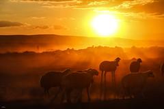 sürü (yasar metin) Tags: sürü life light çoban bozkır hayat bozkırda iç anadolu kırşehir şeker fabrikası günbatımı koyun sürüsü insan insanoğlu fotoğraf fotograf canon canon70d akşam üstü huzur
