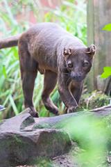 Fossa (Cloudtail the Snow Leopard) Tags: tier säugetier animal mammal beutegreifer predator fossa frettkatze cryptoprocta ferox zoo heidelberg