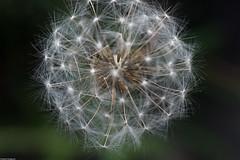 Gone to Seed - Dandelion (bfluegie) Tags: lakesidepark dandelion seed weed macro closeup white