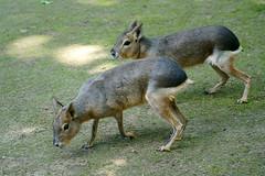 Dolichotis patagonum - Mara, Großer Pampashase (PictureBotanica) Tags: tiere säugetiere pampashasen zoo wildpark essehof