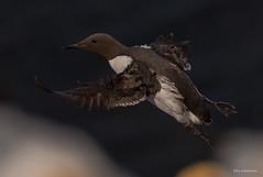 Lummen sind wahre Flugkünstler (wernerlohmanns) Tags: wildlife wasservögel lummen trottellummen alkvögel deutschland lummenfelsen schleswigholstein helgoland natur outdoor nabu nsg nikond750 nordsee northsea d750 schärfentiefe sigma150600c