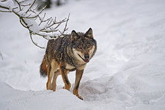 A wolf in the snow (Tambako the Jaguar) Tags: wolf canid canine dog standing posing portait face snow winter cold siky park zoo crémines switzerland nikon d5