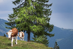 Walking home (memories-in-motion) Tags: cows alpen alps mountains nature outdoor rural chiemgau hochplatte tree green blue landscape lumixgvario1260f3556 panasonic dmcgx8
