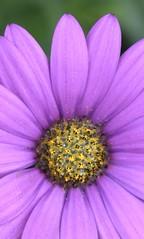 Gazania (MJ Harbey) Tags: gazania flower asterids asterales asteraceae cichorioideae arctotideae nationaltrust plasnewydd nikon d3300 nikond3300 anglesey wales