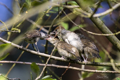 Male Blackcap feeding a Trio of Juveniles (Karen Roe) Tags: blackcap bird family feeding feed hungry trio three juvenile juveniles triplets suffolk county england canon 7d mkii mark2 canon7dmkii 150600mm sigma zoom telephoto july 2019 summer britain greatbritain gb uk unitedkingdom outside outdoor day camera photo photography photograph photographer picture capture image snap shot karenroe female flickr visit visitor wildlife wild nature natur naturephotography