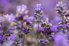 takeoff (Fotos aus OWL) Tags: natur lavendel biene nature bee lavender macro