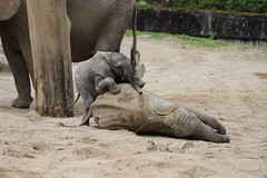 Even the smallest can win (Sven Bonorden) Tags: elephants elefanten zoo wuppertal tierbaby cute small klein tiere animals