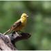 Yellowhammer (male) - Geelgors (man) (Emberiza citrinella) ...
