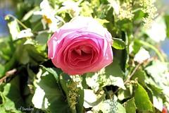 Midsommar 2019_6888 (Majsan of Sweden) Tags: sommaren2019 sweden majsanofsweden majsaneriksson ros rönneberga midsommarafton