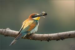 Bienenfresser (European bee-eater) (tzim76) Tags: bienenfresser rackenvögel merops apiaster european beeeater wildlife sachsen nature outdoor bunt canon birding