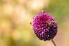 Allium Bees