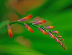 Arc (L@nce (ランス)) Tags: flower macro curve bokeh nikkor nikon micro canada victoria jamesbay