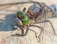Dragonfly close-up (Klaus Eisner) Tags: dragonfly damselflies damselfly libelle libellen insect insects insekt insekten insectseyes insektauge insektenaugen macro makro nature natur naturepics naturephotograph naturephotgraphy naturephotography naturephoto naturfotografie sigma 18028 canon 700d eos700d germany deutschland