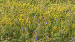 in the sunlit spaces between (Redheadwondering) Tags: minolta minolta100mmf28macrolens sonyα7ii salisburyplain wiltshire summer wildflowers meadow scabious ladiesbedstraw cranesbill geraniums