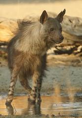 Hyène brune/Brown Hyena (safrounet) Tags: ktphyène kgalagadi hyena brune boire drink eau water nossob rooikop brown sandgrouse ganga sable sand