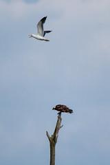Osprey beng dive bombed by a gull. (christina.marsh25) Tags: osprey fishlakemeadows romsey hampshire raptor falcon gull divebomb