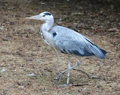 Grey Heron (R.K.C. Photography) Tags: greyheron heron bird wildlife stjamespark london england unitedkingdom uk canoneos750d