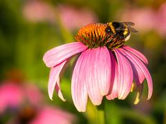 Bumblebee on Purple Coneflower (holgerreinert) Tags: 2019 closeup gx80 juli lumix m43 mzuiko60mm macro makro microfourthirds natur nature olympus mft naturelove