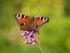 Peacock Butterfly (holgerreinert) Tags: 2019 closeup gx80 juli lumix m43 mzuiko60mm macro makro microfourthirds natur nature olympus mft naturelove