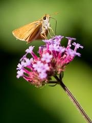 Grass Skippers (holgerreinert) Tags: 2019 closeup gx80 juli lumix m43 mzuiko60mm macro makro microfourthirds natur nature olympus mft naturelove