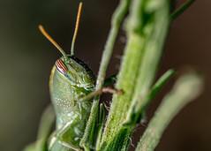"So green (stevebarroso) Tags: ""fantasticnature"" grasshopper macro insect nature"