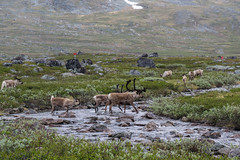 Kungsleden, Sweden (23-6-2019) (TijmOnTour) Tags: kungsleden sweden sverige lapland lappland sami sapmi reindeer bridge snow mountains clouds summer midsummer midnightsun trail hiking backpacking arcticcircle intothewild wilderness river lake water cold camping tent canyon exploring d3300 vandring fjällvandring norrbotten friends signs view landscape laponia wildlife unesco worldheritage nature rocks waterfall