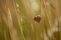 D71_3992-AY 2019--- (Yannick Adonel) Tags: yannickadonel yannick papillon papillons petitesbêtes merville macro macrophoto micro macroinsectes macrophotographie nature nikon nord nan3200 naturel insectes biodiversité biogardins biogardinsfr bio bestioles