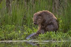 Beaver (rickermstrang) Tags: sigma150600sport nikon d610