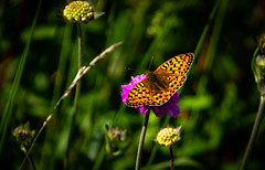 orange butterfly (Phil-Gregory) Tags: nikon naturalphotography naturephotography nationalpark naturalworld d7200 derbyshire dof beauty butterfly countryside colours orange uk scenicsnotjustlandscapes insect creature
