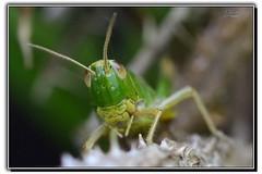 Grasshopper (dav1dwood) Tags: grasshopper insect macro closeup sigma105macrooshsm sigma portrait wildlife nikon nature d7100 jump hop