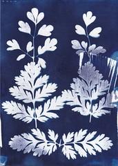 Cyanotypie (blasjaz) Tags: cyanotypie collage blasjaz lerchensporn corydalis lutea papaveraceae botanik fotogramm