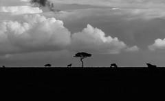 Animals on a Horizon as a storm brews (Leon Sammartino) Tags: mara masai kenya africa east safari landscape silhouette monochrome mono tree acadia wildebeest migration clouds moody storm travel fujifilm tx3 xmount lens telephoto 55200mm zoom