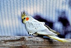 16_Ninfa (Anavicor) Tags: bird pájaro oiseau uccello vogel passarinho ninfa nympha cockatiel cacatúa carolina white yellow grey blanco amarillo gris jaune