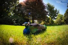 Peacock (Fab85) Tags: pavone peacock fisheye samyang 8mm canoneos450d