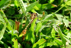 Flag-tailed Spinyleg_N4409 (Henryr10) Tags: eastforklake eastforkstatepark bethelohio littlemiamiriverbasin usa prairietrail dromogomphusspoliatus dromogomphus libélula dragonfly dragonflies libellula libellule libelle drekafluga odonata flagtailedspinyleg spinyleg