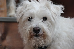 Mr. Wiggles (Tee-Ah-Nah) Tags: outdoors animals dogs puppy close up fluffy furry cute white