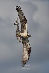 Harassing (Gary Xi) Tags: d850 nikon wingspan wings nature wild wildlife fly flight flying sky harassing chasing easternkingbird eastern kingbird osprey